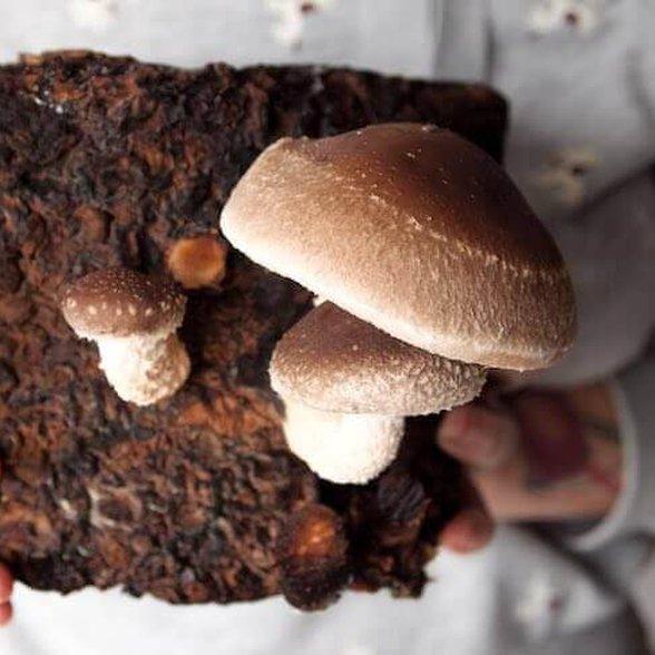 grzyby shitake, własna uprawa grzybów, domowy ogród, domowa uprawa grzybów