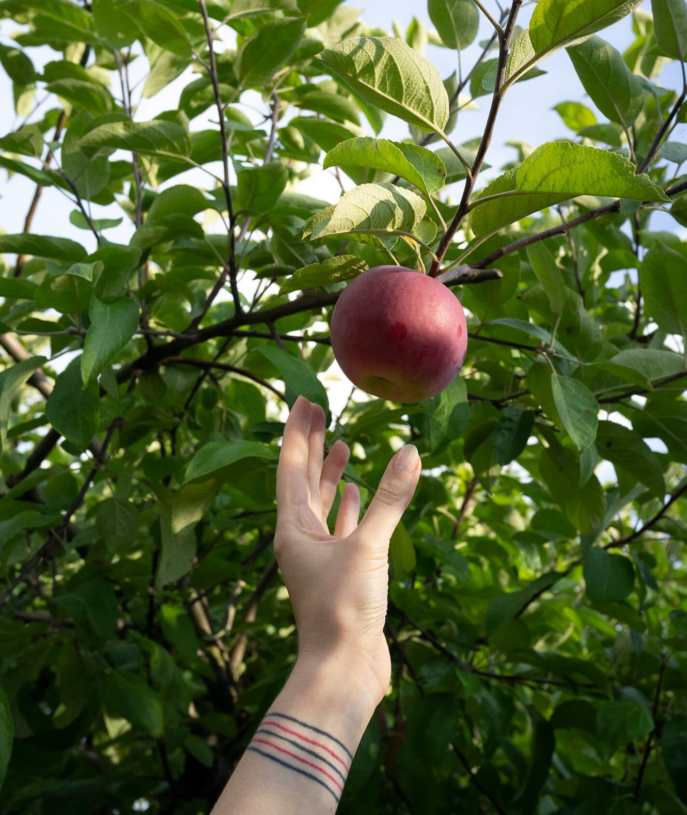 Dłoń sięgająca po dojrzałe jabłko, sad jabłkowy (fot. Zuza Rożek)