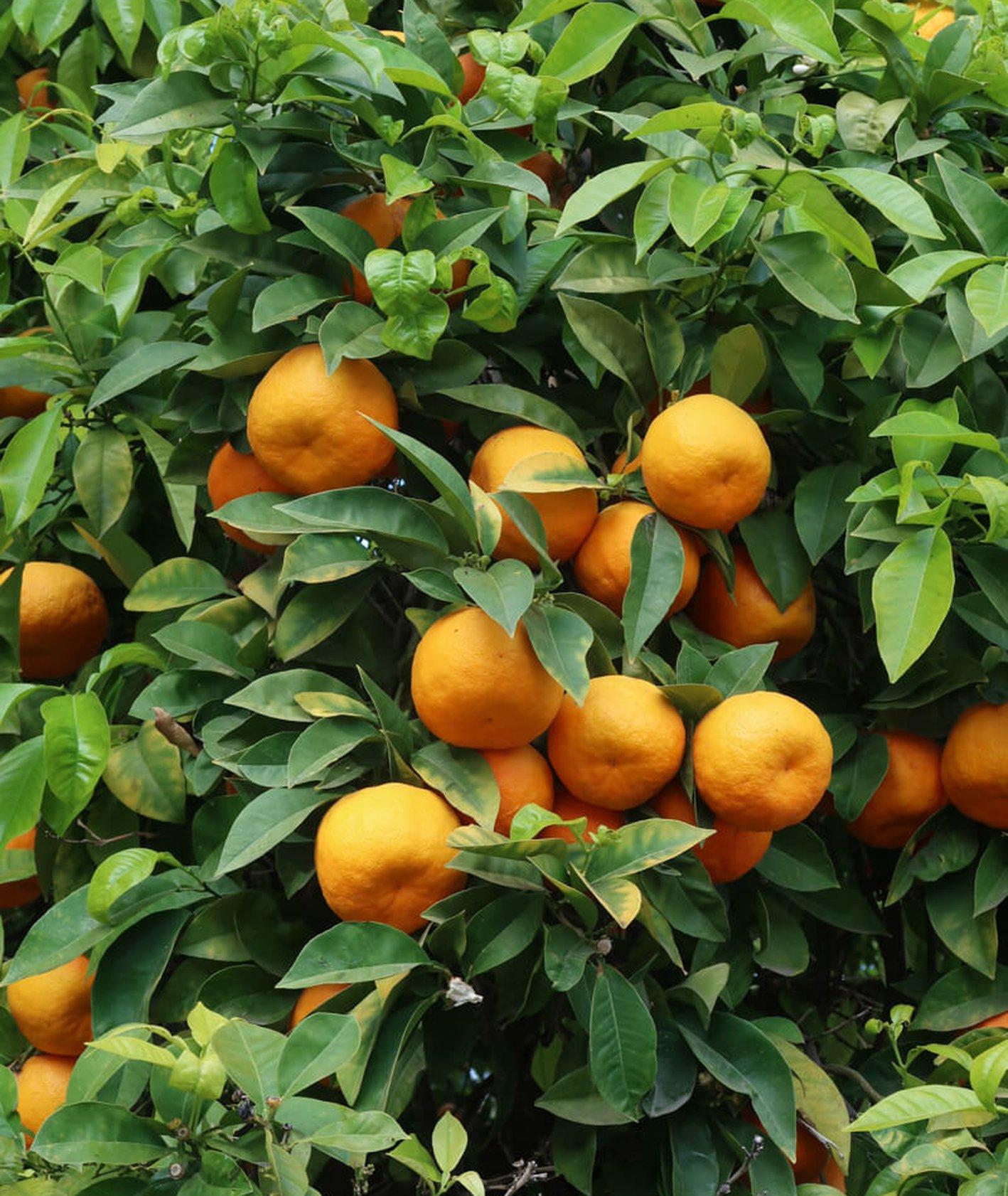 Dlaczego warto zwiedzić Sewillę? – kwiaty pomarańczy (fot. Julia Zabrodzka)