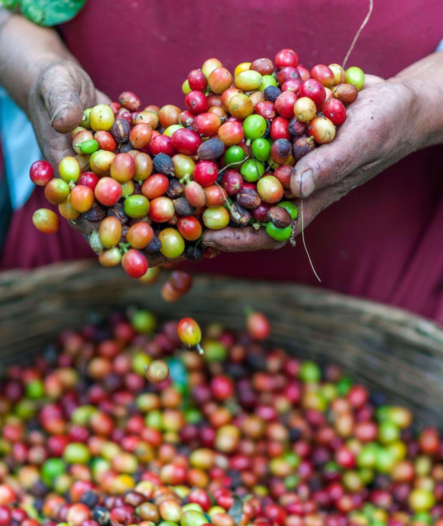 Owoce kawowca (fot. Rodrigo Flores / unsplash.com)